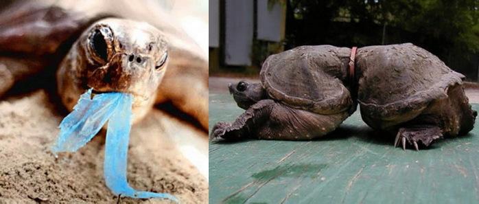 Справа черепаха, в детстве угодившая в пластиковое кольцо и выросшая в нем/5346478_0_a4764_e05ab611_orig (700x297, 72Kb)