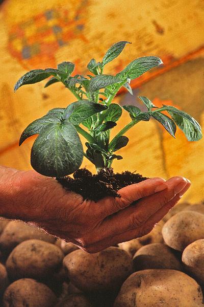 Potato_plant (400x600, 64Kb)