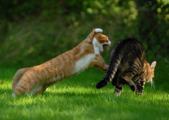 Cat_Fight_30_Epic_Kung_Fu_Cats_Battle-s1024x731-345069-580 (580x414, 172Kb)