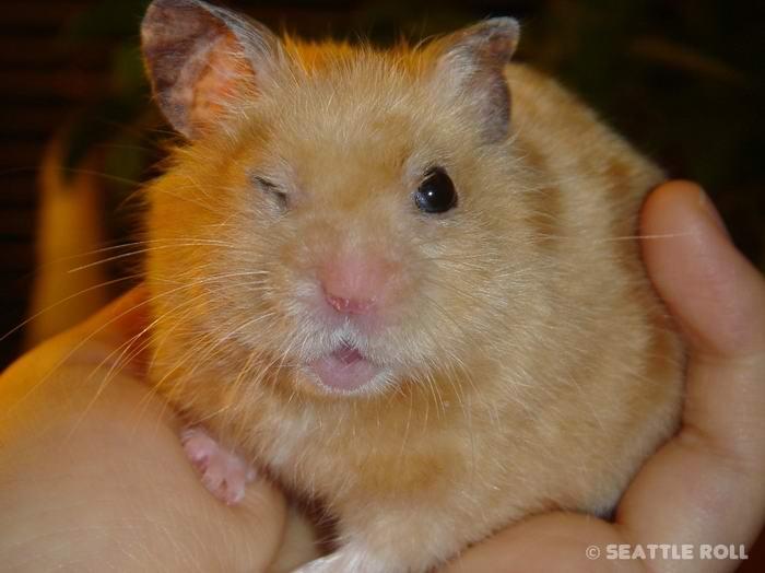 hamsters_18 (700x524, 42Kb)