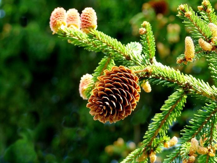 Как использовать хвою и шишки разных растений для лечения заболеваний/2565092_Shishki (700x525, 116Kb)
