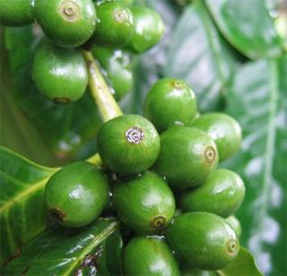 Где продается зеленый кофе?/3644236_zelenyj_kofe (320x307, 49Kb)