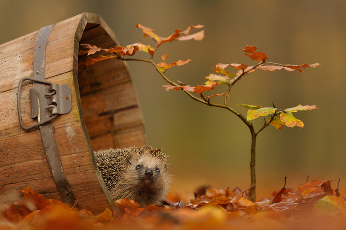 78818560_1901311_autumnhedgehog (699x465, 330Kb)