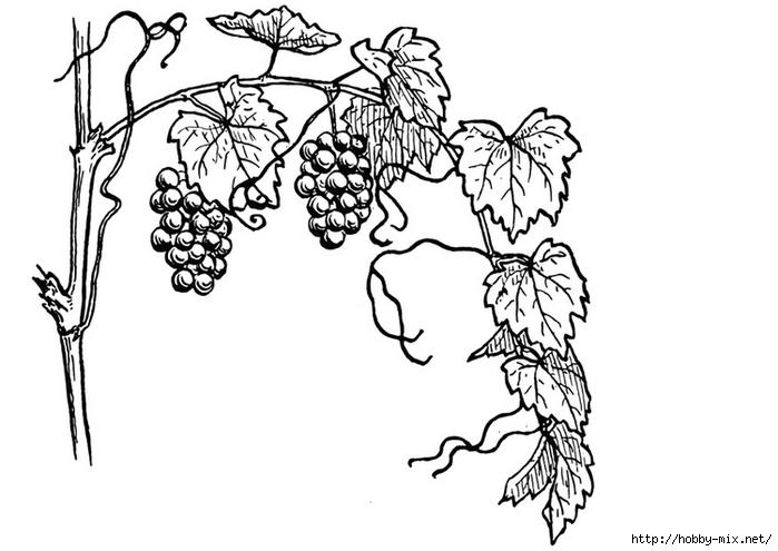 grapevine-13075 (700x495, 141Kb)