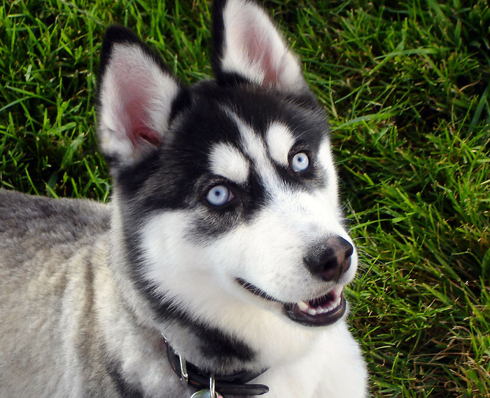 Siberian_Husky_blue_eyes_Flickr (700x568, 533Kb)