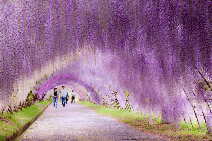 kawachi-fuji-garden-wisteria-tunnel-kitakyushu-japan-4 (700x467, 537Kb)