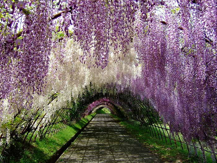 wisteria-tunnel (700x525, 672Kb)