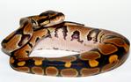 ������ P1120076 (700x437, 361Kb) Python regius the photo by art of Pogrebnoj-Alexandroff