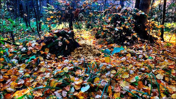 Осень в лесу/3673959_7 (700x393, 219Kb)