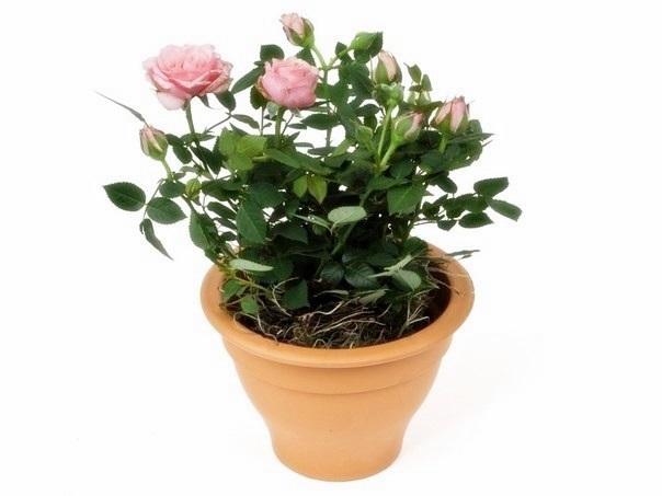 Как вырастить розу на подоконнике