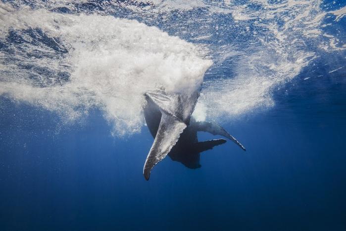 горбатые киты фото Габи Баратью 9 (700x466, 291Kb)