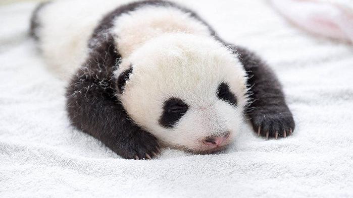 маленькие панды фото 3 (700x393, 211Kb)