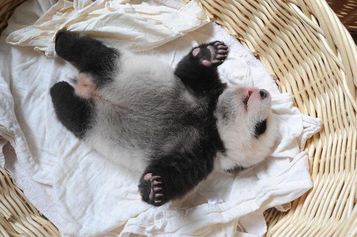 маленькие панды фото 11 (700x466, 375Kb)