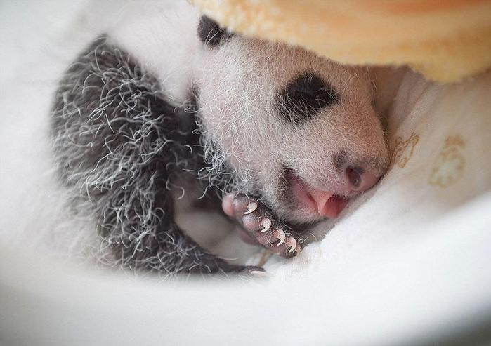 маленькие панды фото 14 (700x493, 267Kb)
