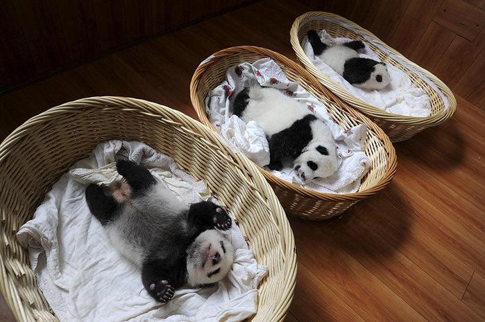 маленькие панды фото 16 (700x465, 399Kb)