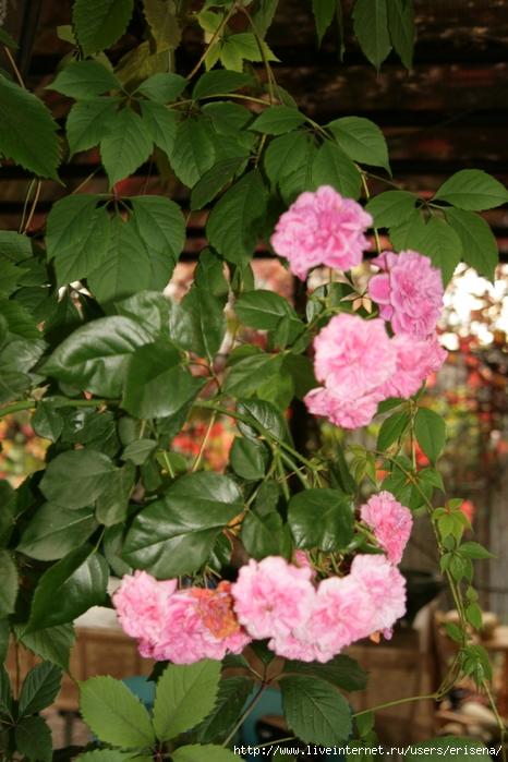 Мой осенний сад роскошное цветение