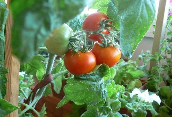 помидоры на балконе (604x413, 252Kb)
