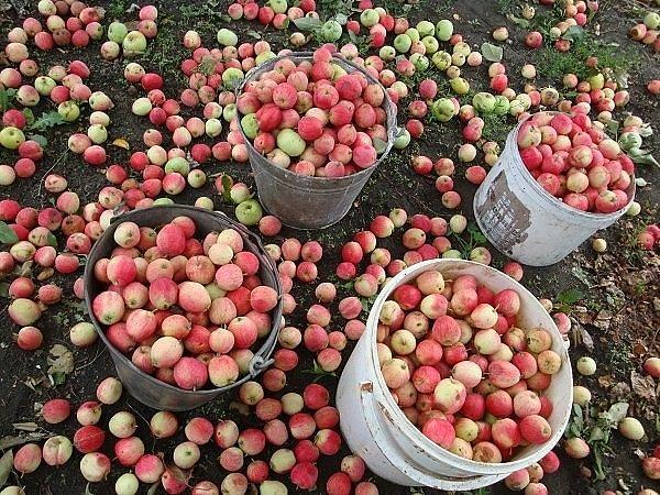 урожай яблок (600x450, 429Kb)