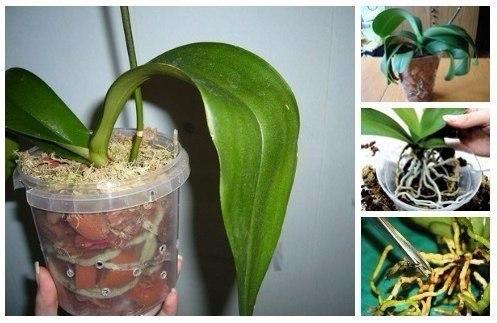 орхидеяjpg (497x323, 148Kb)