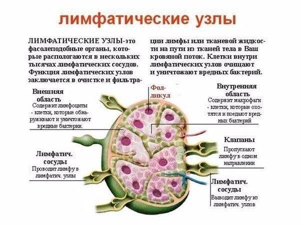 На чем держится наш иммунитет. (604x453, 68Kb)