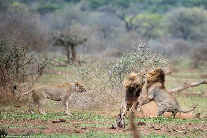 дикие львы дерутся фото 2 (700x466, 320Kb)