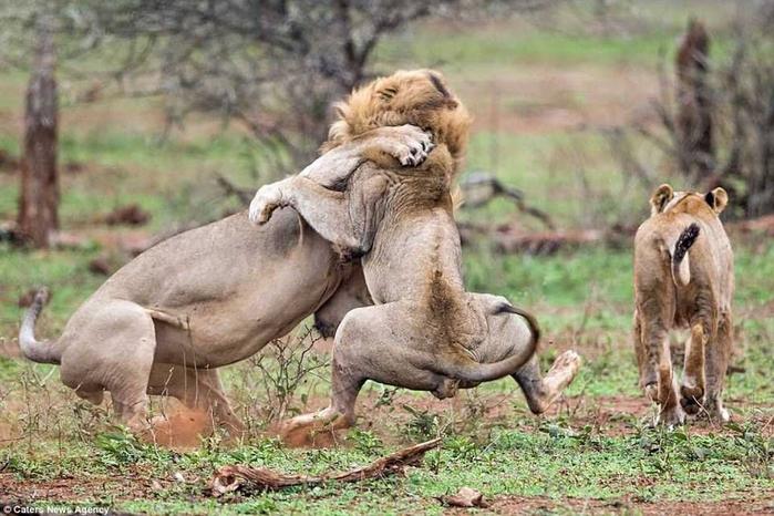 дикие львы дерутся фото 3 (700x466, 361Kb)