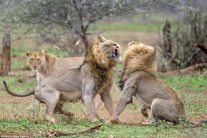 дикие львы дерутся фото 6 (700x466, 353Kb)