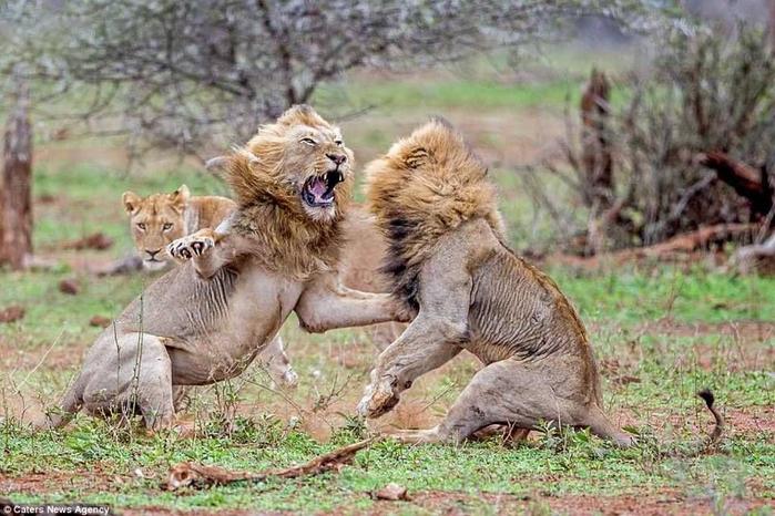 дикие львы дерутся фото 9 (700x466, 385Kb)