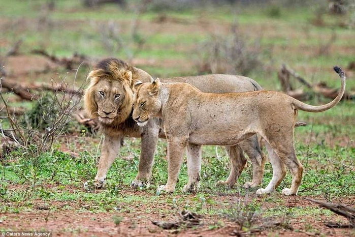 дикие львы дерутся фото 11 (700x466, 386Kb)