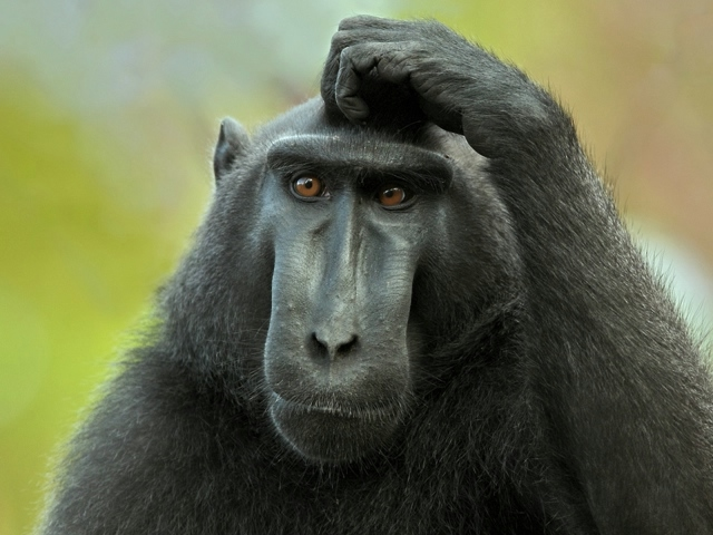 Animals___Monkeys_Monkey_and_scratches_head_054129_29 (640x480, 167Kb)
