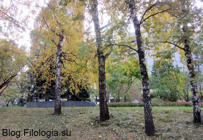 Березы с пожелтевшей листвой (700x483, 109Kb)