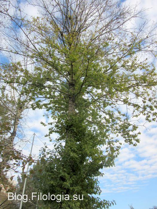 Зеленые деревья осенью (525x700, 120Kb)