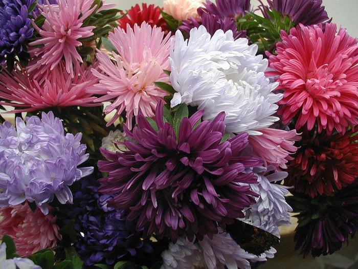 alt=Осени поздней цветы запоздалые/2835299_asters_01 (700x525, 108Kb)