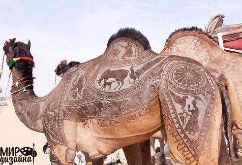 Стрижка верблюда (492x335, 54Kb)