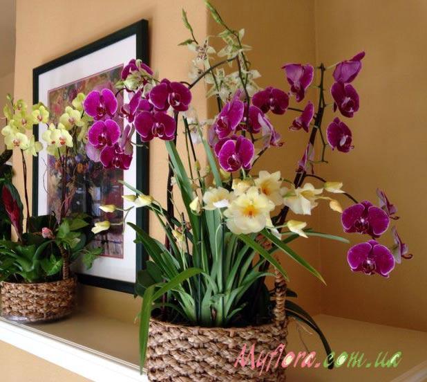 Как продлить цветение орхидеи в домашних условиях /4565316_orh1 (618x552, 66Kb)