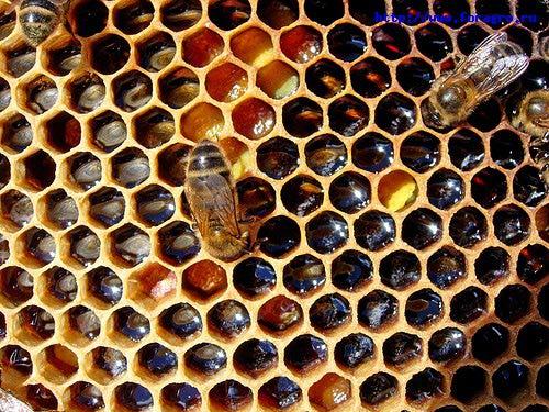 5459554____________________________apiculture_perga (500x375, 74Kb)