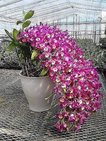 Орхидея15 (360x480, 108Kb)