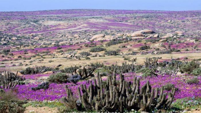 цветущая пустыня атакама фото 1 (700x394, 334Kb)
