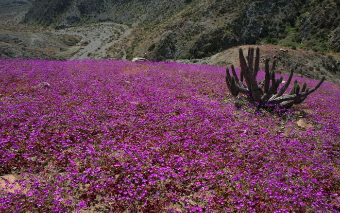 цветущая пустыня атакама фото 5 (700x438, 522Kb)
