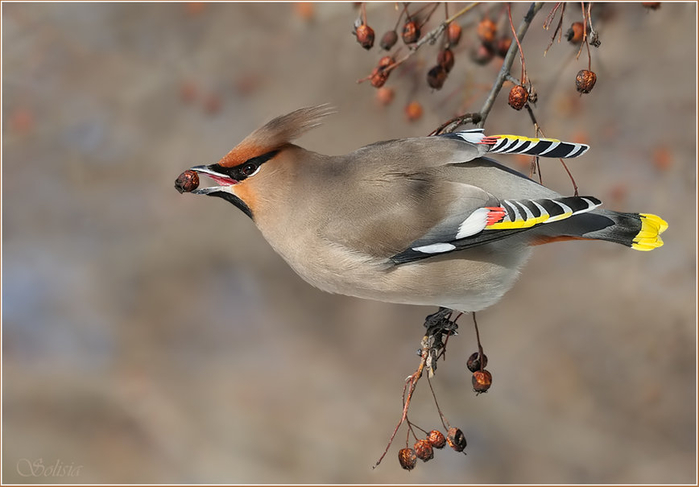 421146__waxwing_p (700x487, 225Kb)