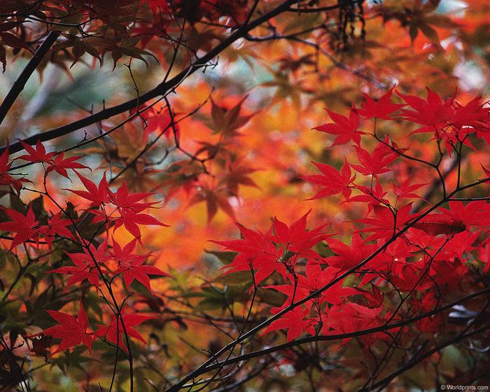 os_leaves014 (700x560, 86Kb)