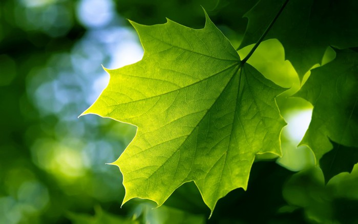 wpid-green-leaf-wallpaper-1024x640 (700x437, 56Kb)