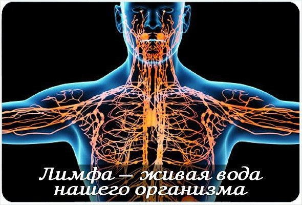 3925311_Limfaticheskaya_sistema (590x400, 68Kb)