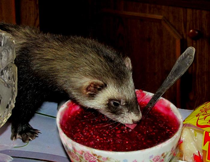 Что кушают хорьки в домашних условиях