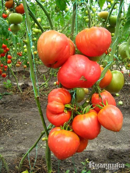 1272538278_tomaty (300x467)