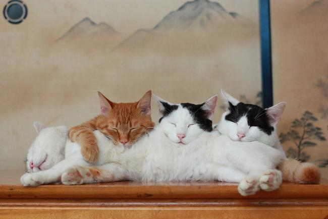 кот Shiro Neko фото 13 (650x434, 27Kb)