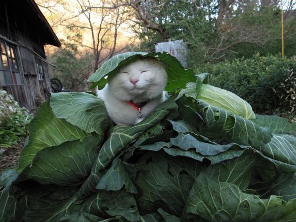 кот Shiro Neko фото 11 (600x450, 54Kb)
