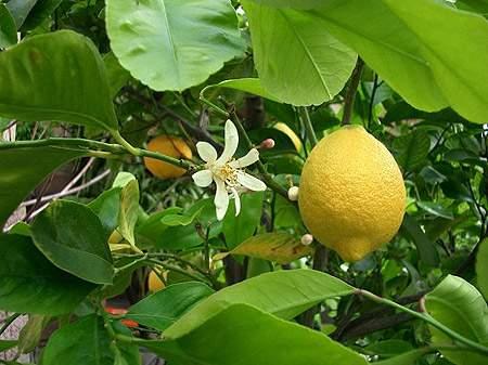 1344594430_limon (400x287, 28Kb)