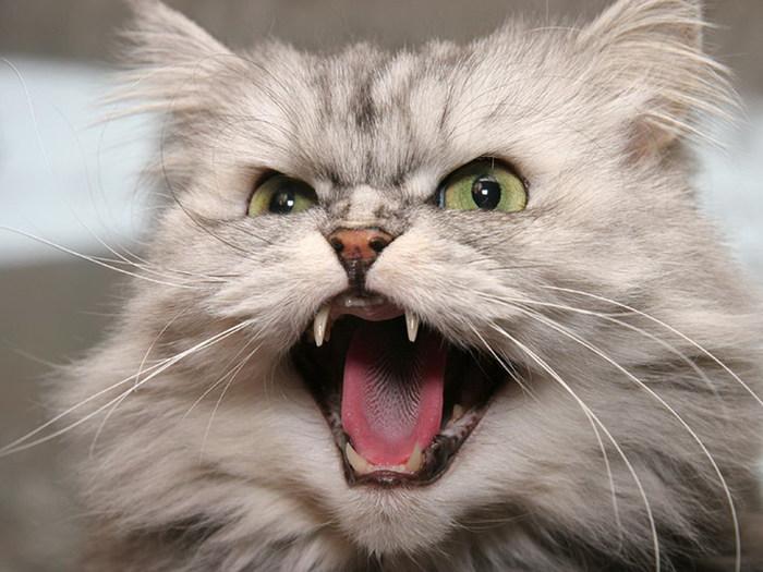 кошка_зубы_кот_Недовольная морда (700x525, 90Kb)
