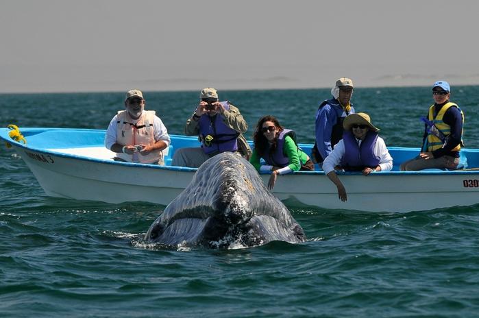 серый кит фото (700x464, 228Kb)